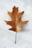 Single dry oak leaf in snow Stock Images