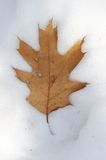 Single dry oak leaf in snow Stock Photography