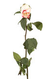 Single dry rose Stock Photo