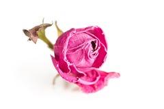Single dry rose on white Stock Photo