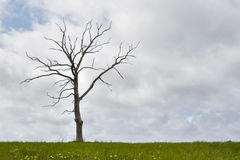 Single dry tree, cloudy sky, grass at bottom Royalty Free Stock Photography