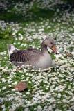 Single duck among daisies. In fota wildlife park near cobh county cork ireland Royalty Free Stock Photos