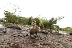Single duck standing. Outside of a lake Stock Images