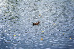 Single duck in the water in autumn with fallen autumn leaves. Background, copy space Royalty Free Stock Photo
