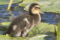 A duckling at the Ornamental Pond, Southampton Common royalty free stock image