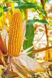 Single ear of corn on plant close up Stock Image