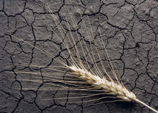 Single ear on drought soil Stock Images