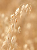 Single ear of oats Royalty Free Stock Images