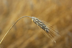 A single ear of ripening barley in a field in Northern Ireland Royalty Free Stock Image