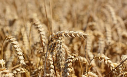 Single ear of ripening wheat against the crop Royalty Free Stock Photo