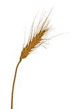 Single ear of wheat isolated on white Stock Photo