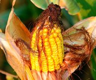 A single ear of yellow corn in a cornfield Stock Photo