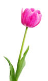 Single Early Pink Tulip Royalty Free Stock Photography