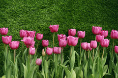 Single Early Tulips (Christmas Dream). On Green background Stock Photo