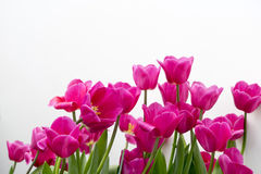 Single Early Tulips (Christmas Dream). On white background Stock Photo