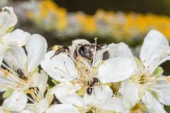 Single earth bee male sitting on a flower of a tree, Germany.  royalty free stock photos
