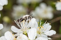 Single earth bee male sitting on a flower of a tree, Germany.  royalty free stock photo