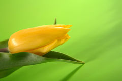 Single, easter yellow tulip on green background Stock Images