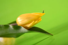 Single, easter yellow tulip on green background Royalty Free Stock Photo