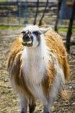 Single Eating Lama Stock Photo