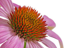 Single echinacea flower, macro Royalty Free Stock Images