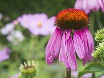 Single Echinacea purpurea Royalty Free Stock Photo