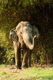 Single elephant Stock Image
