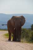 Single elephant. Classic view from the front with ears out Royalty Free Stock Image
