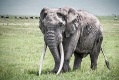 Single elephant in Africa. Signe elephant walking in Tanzania Stock Images