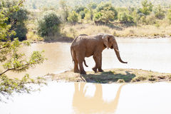 Single elephant bull standing on small island in nature reserve. Single elephant bull in heat, standing on small island in nature reserve royalty free stock photography
