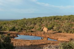 Single elephant bull at water hole at sunrise. Safari game drive in Africa. Explore wildlife, safari adventure background stock image