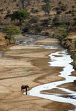 Single elephant drinking. From a dried up river in Tarangire NP royalty free stock images