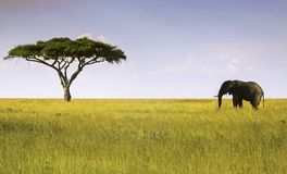 Elephant and Acacia Tree Serengeti National Park. Single Elephant and Isolated Acacia Tree Landscape in Serengeti National Park, a Unesco World Heritage Site in stock images