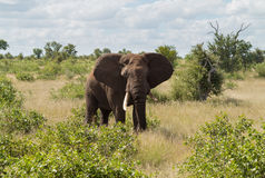 Single elephant in Kruger National park Stock Images
