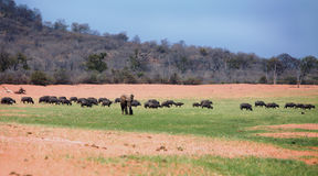 A single elephant standing amongst a herd of buffalo Royalty Free Stock Photo