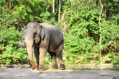 Single elephant standing with forest background. Single elephant standing with forest background in Thailand zoo stock photo