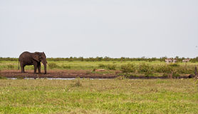 Single elephant standing at waterhole Royalty Free Stock Photo