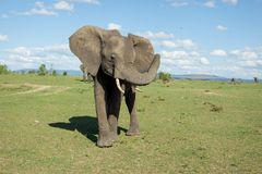 Single elephant with trunk up pictured in savannah. On sunny day with blue sky and clouds. Taken in Masai Mara national park in Kenya, Africa royalty free stock image