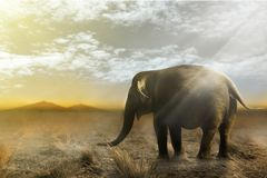 Single elephant walking. In a field with the Sun from behind royalty free stock images