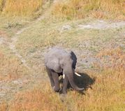 Single elephant walking on a wild track in the Okavango delta B. Otswana, aerial shot royalty free stock images