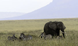 A Single Elephant and Zebras Socialize, Tanzania Royalty Free Stock Photos