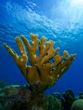 Single elkhorn coral colony. Mature elkhorn coral colony against a blue water background with the cloudy blue Caribbean visible through the surface of the sea stock image