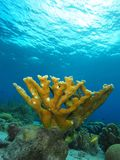 Single elkhorn coral colony. Mature elkhorn coral colony against a blue water background. Kaparta, Bonaire, Netherlands Antilles stock photography