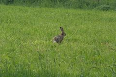 Single European hare Lepus europaeus or Brown hare sitting alert in a meadow. Picture of a European hare Lepus europaeus or Brown hare sitting alert in a field stock photo