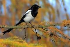 Single European Magpie bird on tree branch. During an autumn season royalty free stock images