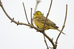 Single European Serin bird on tree twig. During a spring nesting period royalty free stock photo