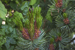 Single evergreen branch from a fir tree Stock Images