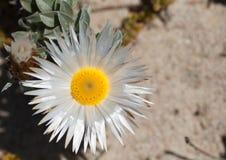 Single everlasting flower Royalty Free Stock Photo