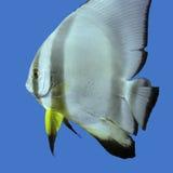 Single exotic fish circular batfish in tropical sea , underwater Royalty Free Stock Image