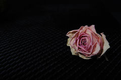 Single Faded Rose on Black. One pale pink faded rose on black grid with black background Stock Photos